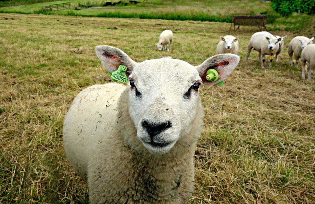 Probiere leckeren Schafskäse